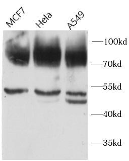 anti- CD44 antibody