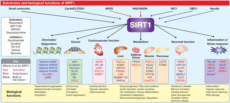 sirt1参与的生理过程