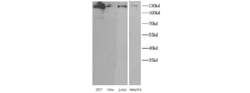 Western blot-FNab07877 anti- SIRT1 antibody